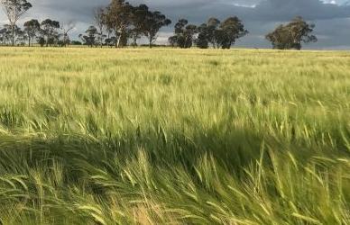Australia – Suspensión de uso de Glifosato en aplicaciones tardías en Cebada